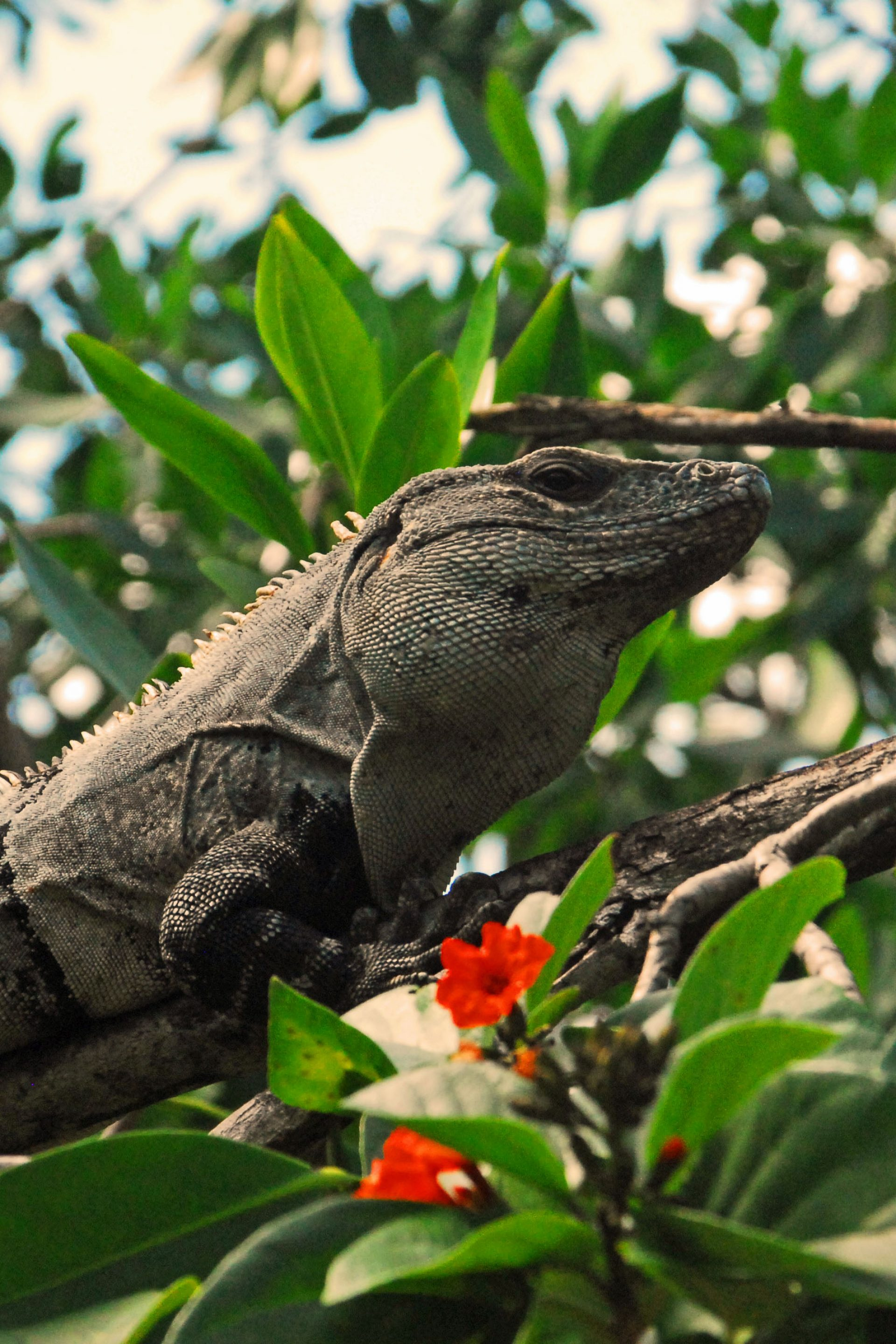 Mayan Iguana Jungle Reptiles in Mexico