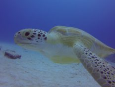 Emma the Green Turtle at Shangri-la Reef