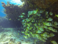 School of Porkfish at Sabalos Reef