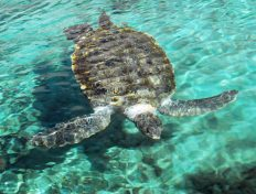 Swimming Ocean turtle