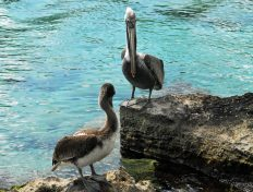 Two pelicans at the Lagoon